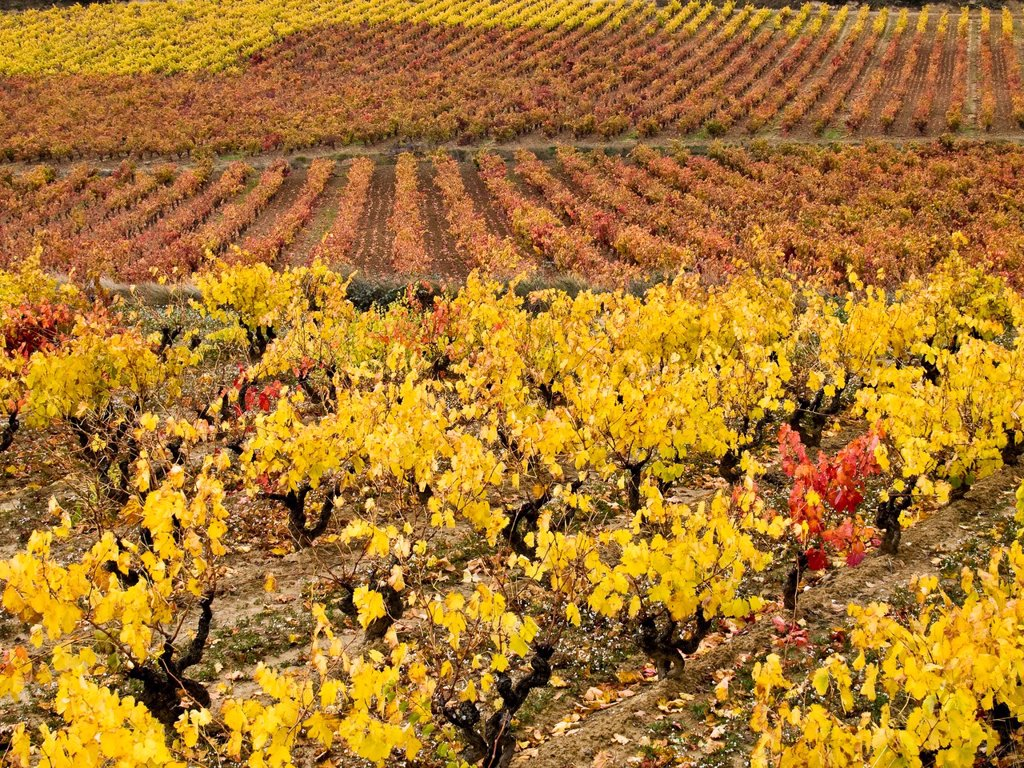 Vineyards in autumn near Laguardia - Rioja Alavesa - Euskadi - Spain : Stock Photo