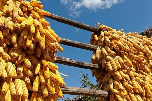 Corn cobs drying in the sun, Baisha, near Lijiang, Yunnan Province, China : Stock Photo