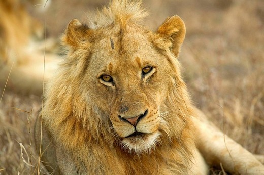 Young african lion : Stock Photo