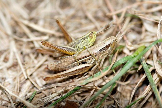 Stock Photo: 1566-640585 Grasshoppers mating in grass, France