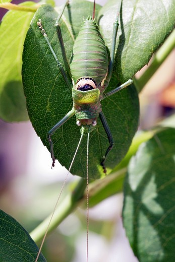 Green bush cricket, Vendee , France : Stock Photo