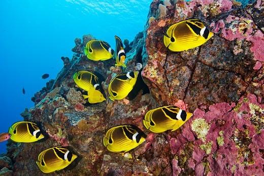 raccoon butterflyfish, Chaetodon lunula, Kona Coast, Big Island, Hawaii, USA, Pacific Ocean : Stock Photo