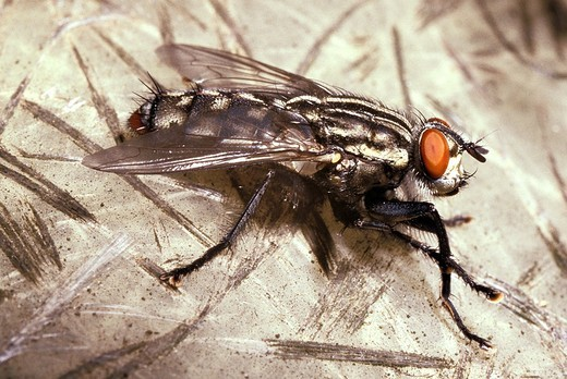 Stock Photo: 1566-642325 close up of typical house fly Musca domestica