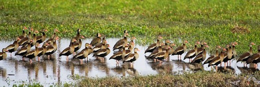 RED-BILLED WHISTLING DUCK dendrocygna automnalis, LOS LIANOS IN VENEZUELA : Stock Photo