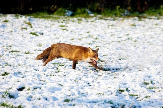 RED FOX vulpes vulpes, ADULT ON SNOW, NORMANDY IN FRANCE : Stock Photo
