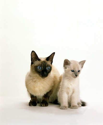 BALINESE DOMESTIC CAT, FEMALE WITH KITTEN : Stock Photo
