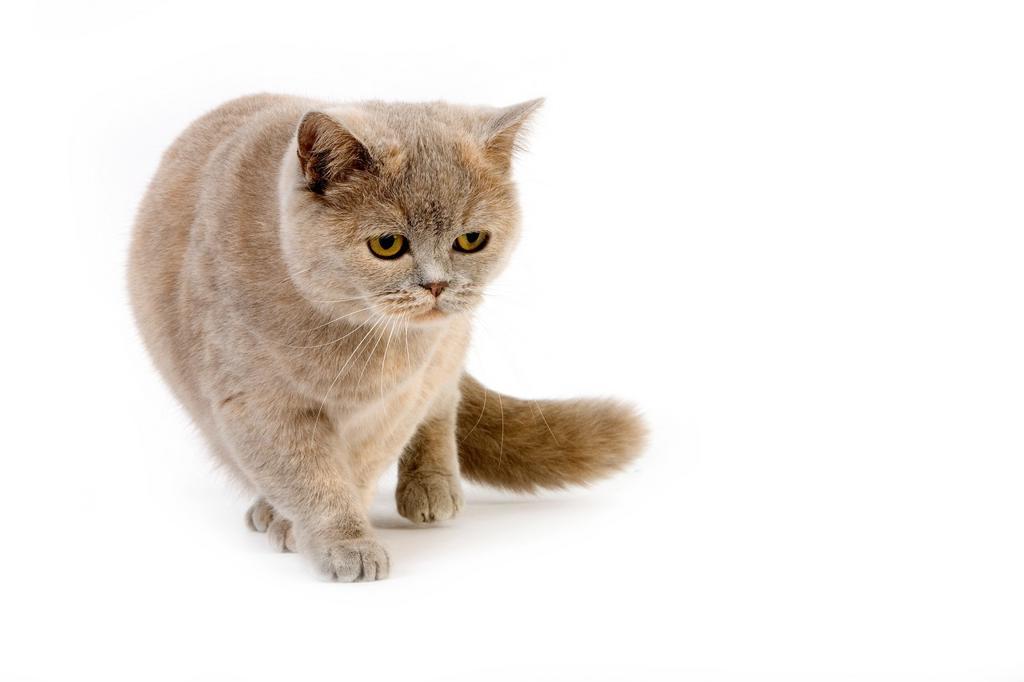 Stock Photo: 1566-643425 BLUE CREAM BRITISH SHORTHAIR DOMESTIC CAT, FEMALE AGAINST WHITE BACKGROUND