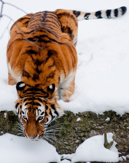 A thirsty Siberian tiger crouches low to drink : Stock Photo