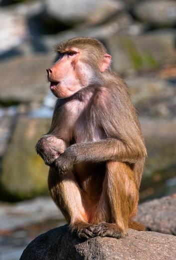 A howling Hamadryas baboon : Stock Photo