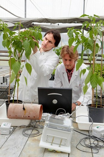 Researchers installing fruit growth sensors, pepper culture, greenhouses, Neiker-Tecnalia, Institute for Agricultural Research and Development, Derio, Biscay, Basque Country, Spain : Stock Photo
