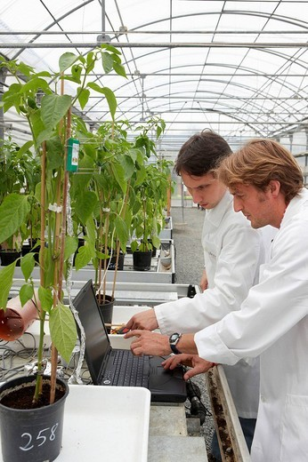 Stock Photo: 1566-650631 Researchers installing fruit growth sensors, pepper culture, greenhouses, Neiker-Tecnalia, Institute for Agricultural Research and Development, Derio, Biscay, Basque Country, Spain
