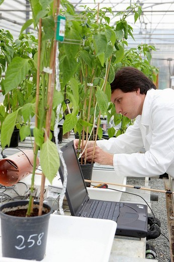 Researcher installing fruit growth sensors, pepper culture, greenhouses, Neiker-Tecnalia, Institute for Agricultural Research and Development, Derio, Biscay, Basque Country, Spain : Stock Photo