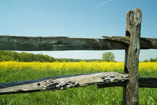 New Castle County Delaware, rural scenics of country roads, yellow flowers, split rail fences, USA : Stock Photo