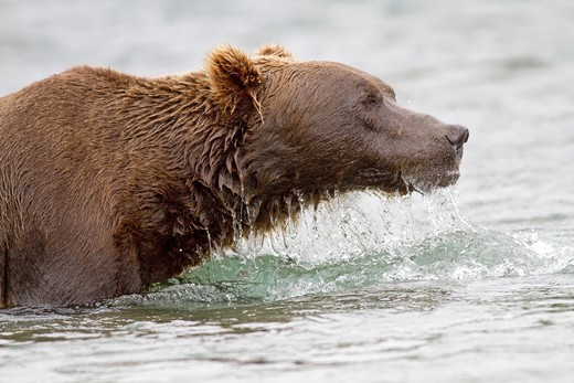 Alaska , Katmai National Park and Preserve , McNeil River Bear Viewing and Wildlife Sanctuary , Grizzly bear  Ursus arctos horribilis  , family : ursidae , order : carnivora. : Stock Photo