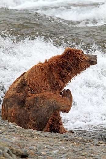 Alaska , Katmai National Park and Preserve , McNeil River Bear Viewing and Wildlife Sanctuary , falls of the Mc Neil river , Grizzly bear  Ursus arctos horribilis  , family : ursidae , order : carnivora. : Stock Photo