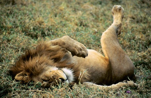 Stock Photo: 1566-667513 African Lion, Ngorongoro Conservation Area