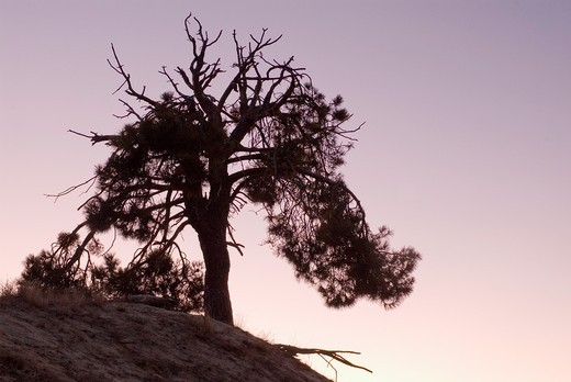 Pine silhouette at sunset : Stock Photo
