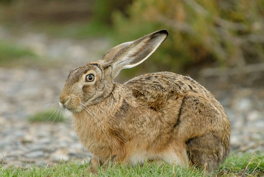 Stock Photo: 1566-673760 Cape Hare (Lepus capensis). The Cape Hare was introduced in Patagonia.