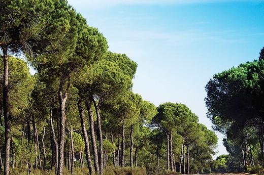 Stock Photo: 1566-674732 Pinewoods. Doñana National Park. Huelva province, Spain
