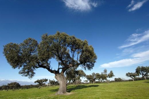 Holm Oak (Quercus ilex). Cáceres province, Extemadura, Spain. : Stock Photo