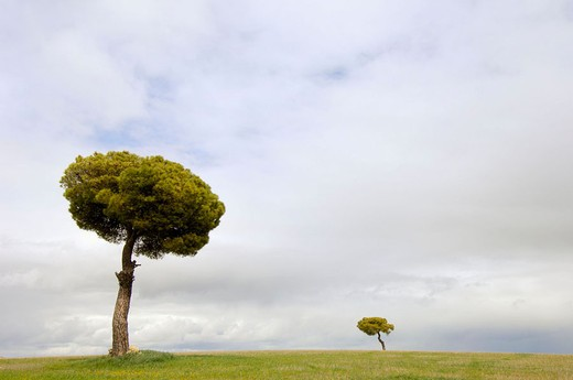 Stone pines (Pinus pinea) in cereal field plains. Villafáfila Lagoon . Zamora province, Spain : Stock Photo