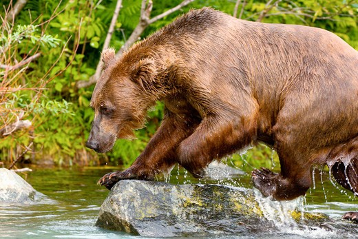 Sow (female) brown bear fishing for salmon near the Redoubt Bay Lodge, Big River Lakes, along the Cook Inlet, west of Anchorage, Alaska : Stock Photo