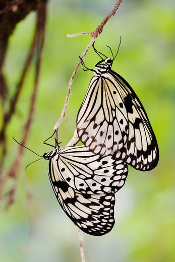 White Tree Nymphs (Idea leuconoe) mating : Stock Photo