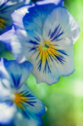 Pansy Flowers. Viola x wittrockiana, Maryland, USA : Stock Photo