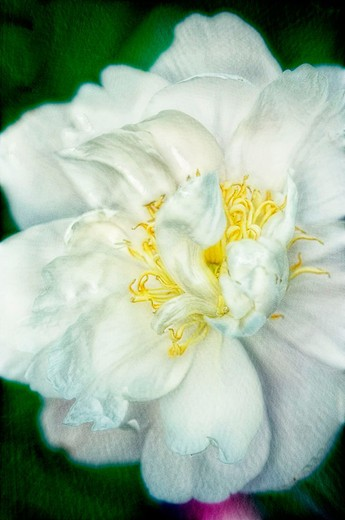 Stock Photo: 1566-677547 White Peony close-up. Paeonia lactiflora. May 2006. Maryland, USA.