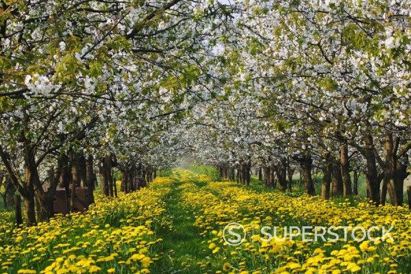 Stock Photo: 1566-679061 Cherry Blooming. Schleswig-Holstein, Germany