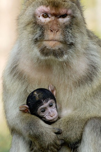 Barbary Macaque with Baby (Macaca sylvana). : Stock Photo
