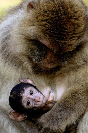Stock Photo: 1566-679091 Barbary Macaque with Baby (Macaca sylvana).
