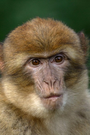 Young Barbary Macaque (Macaca sylvana) : Stock Photo
