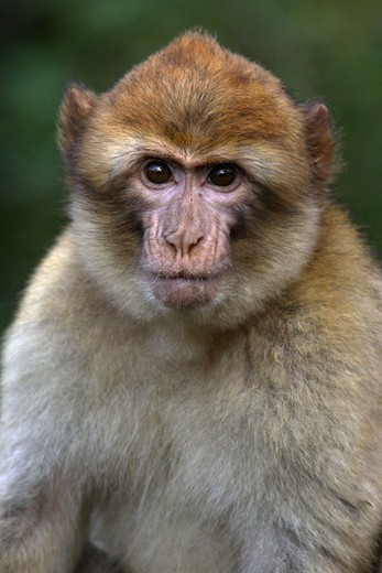 Stock Photo: 1566-679095 Young Barbary Macaque (Macaca sylvana)