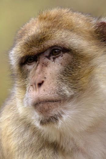 Barbary Macaque (Macaca sylvana) : Stock Photo