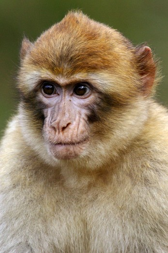 Stock Photo: 1566-679099 Young Barbary Macaque (Macaca sylvana)