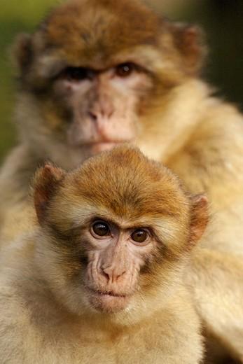 Stock Photo: 1566-679100 Barbary Macaque with Young (Macaca sylvana).
