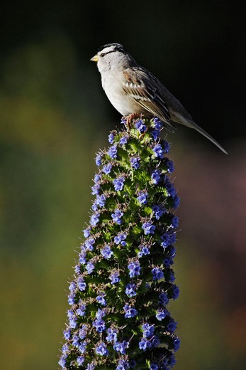 White-Crowned Sparrow ( Zonotrichia leucophrys). California, USA : Stock Photo