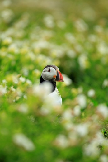 Stock Photo: 1566-679660 Puffin Fratercula arctica