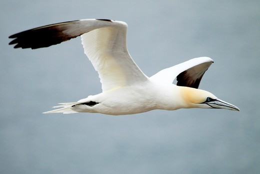 Northern gannet Sula bassama or Morus bassanus in flight : Stock Photo