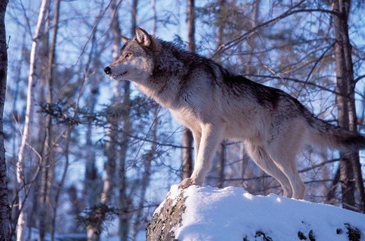 The Gray Wolf (Canis lupus) also spelled Grey Wolf, also known as Timber Wolf , is a mammal in the order Carnivora. The Gray Wolf shares a common ancestry with the domestic dog : Stock Photo