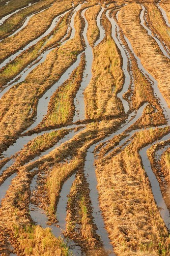 Stock Photo: 1566-680463 Rice field in autumn. Valencia. Spain.