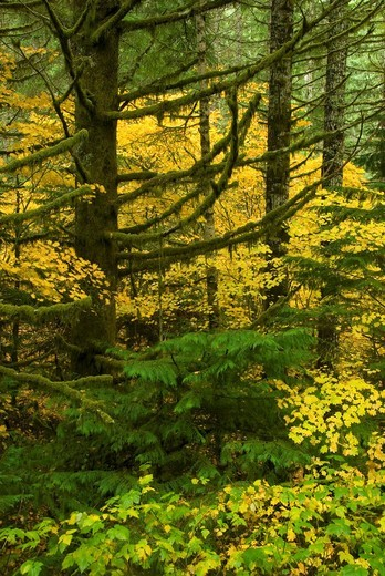 Stock Photo: 1566-682030 Coast Range forest with yellow vine maple, Clatsop State Forest, Oregon