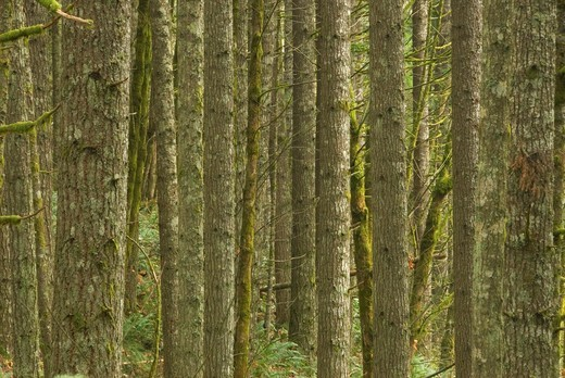 Stock Photo: 1566-682037 Douglas firs along Holli´s Point of View Trail, Stub Stewart State Park, Oregon