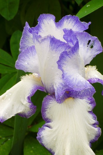 Presby´s Crown Jewel iris, Schreiners Iris Gardens, Keizer, Oregon : Stock Photo