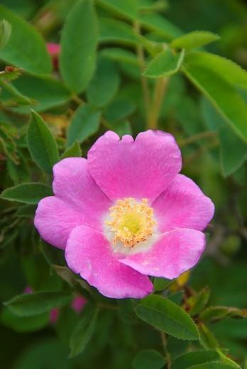 Wild rose, Baskett Slough National Wildlife Refuge, Oregon : Stock Photo