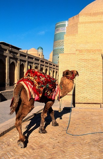 Camel in Ichon-Qala  Khiva  Uzbekistan : Stock Photo