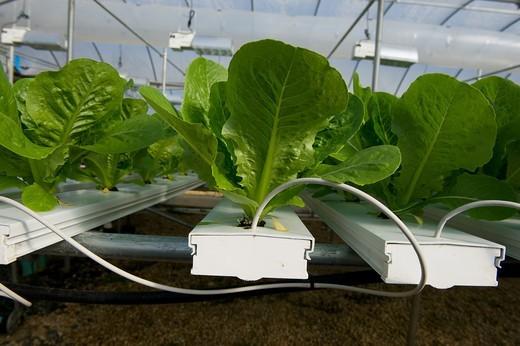 Hydroponic Lettuce : Stock Photo