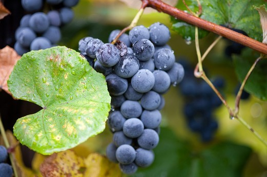 Stock Photo: 1566-683995 Grapes