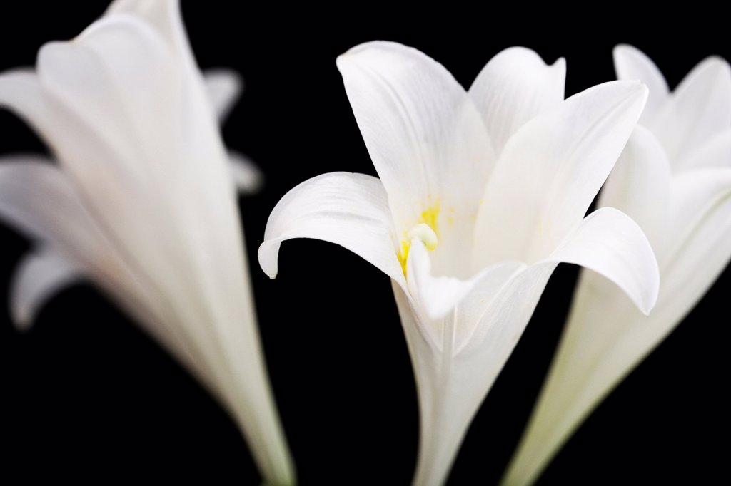 Three Striking White Longiflorum Blooms on Black : Stock Photo
